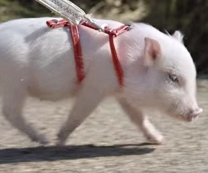 Picture of pig from commerical, aka Mr. Bombastic